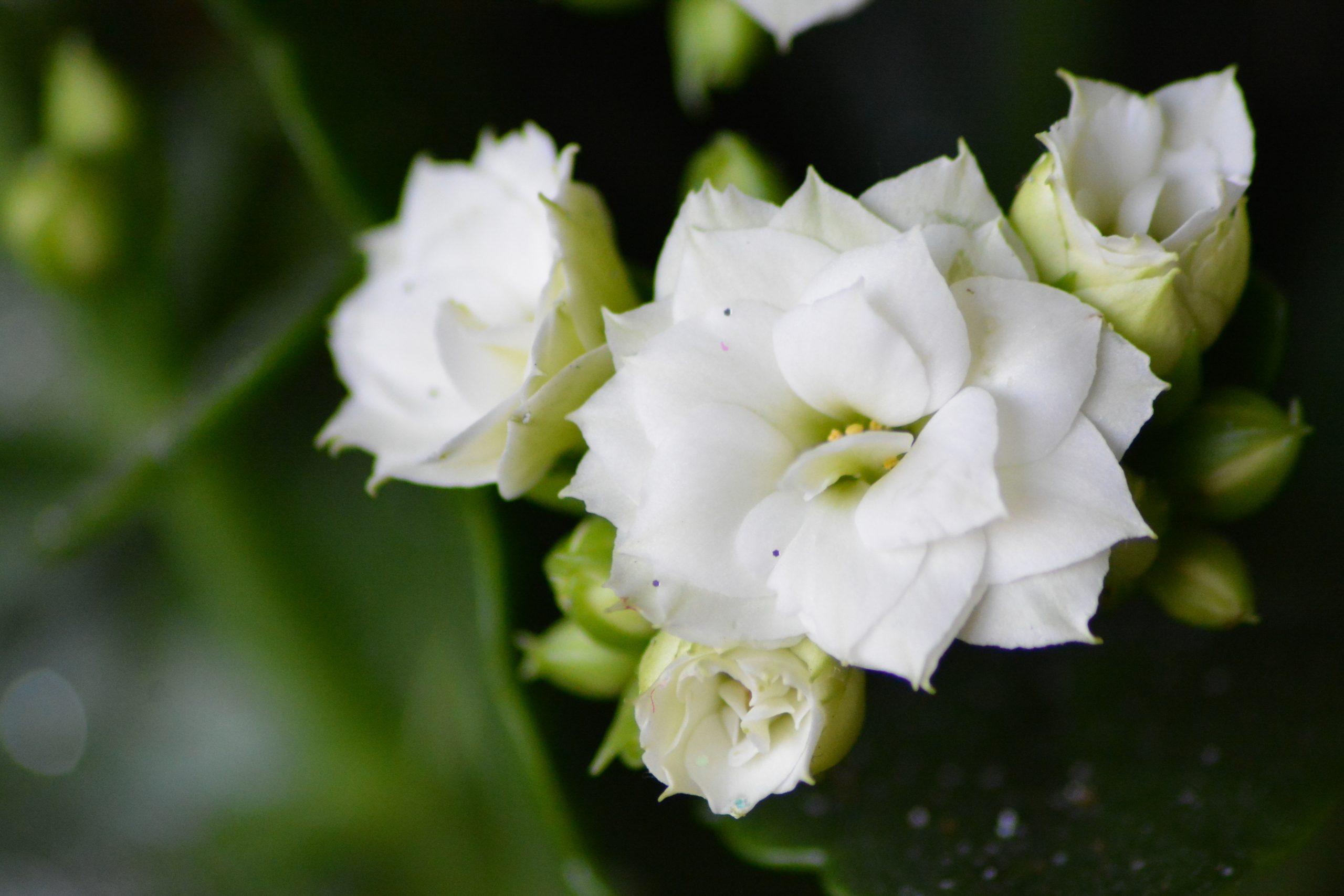 Fleurs blanches avec quelques paillettes, Noël